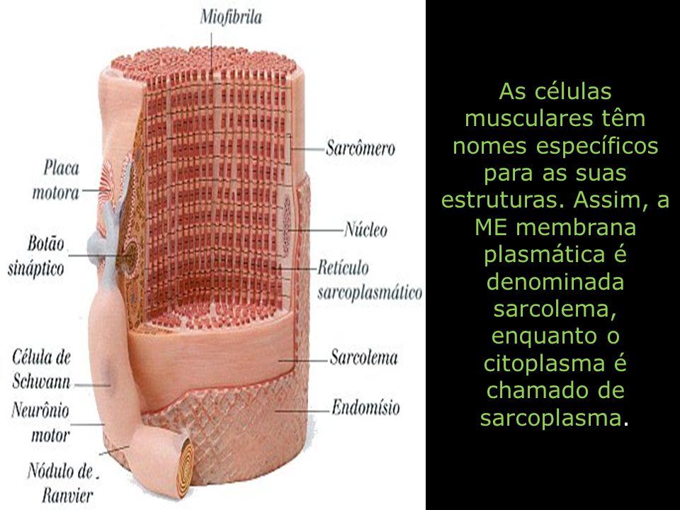 As células musculares têm nomes específicos para as suas estruturas