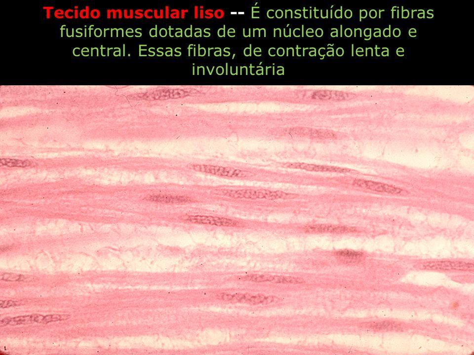 Tecido muscular liso -- É constituído por fibras fusiformes dotadas de um núcleo alongado e central.