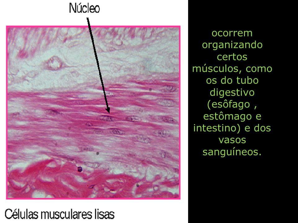 ocorrem organizando certos músculos, como os do tubo digestivo (esôfago , estômago e intestino) e dos vasos sanguíneos.