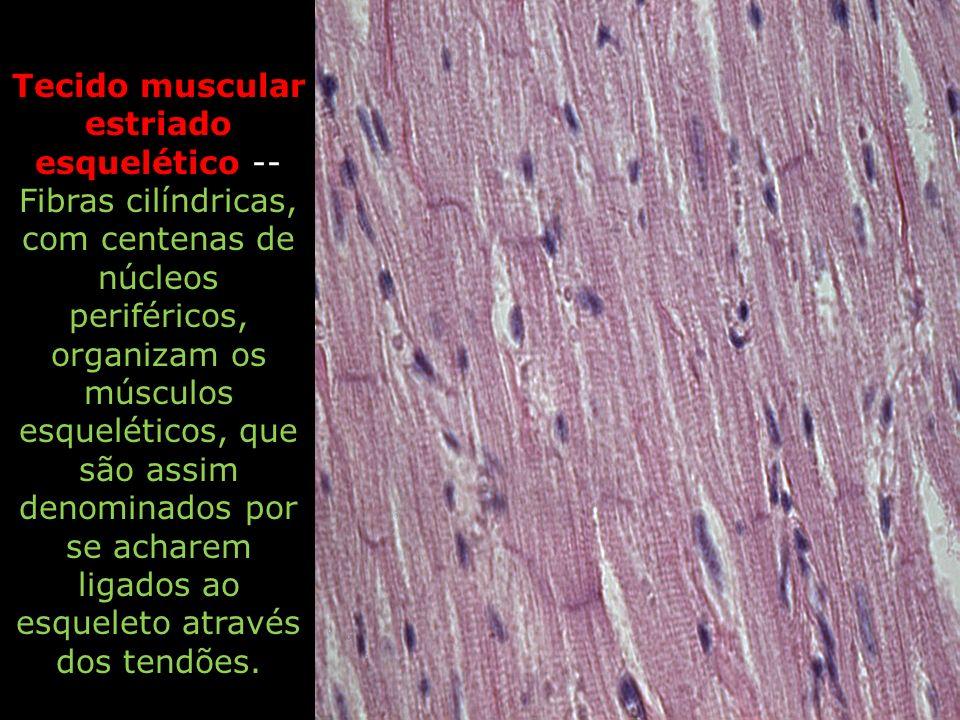 Tecido muscular estriado esquelético -- Fibras cilíndricas, com centenas de núcleos periféricos, organizam os músculos esqueléticos, que são assim denominados por se acharem ligados ao esqueleto através dos tendões.