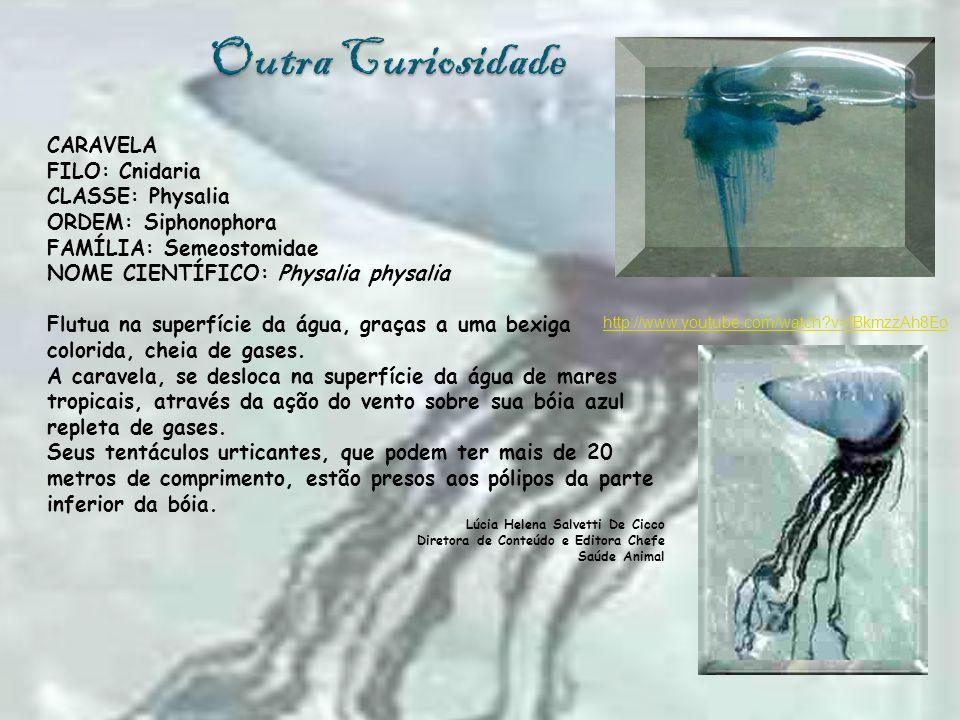 Outra Curiosidade CARAVELA FILO: Cnidaria CLASSE: Physalia