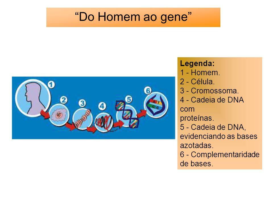Do Homem ao gene Legenda: 1 - Homem. 2 - Célula. 3 - Cromossoma.