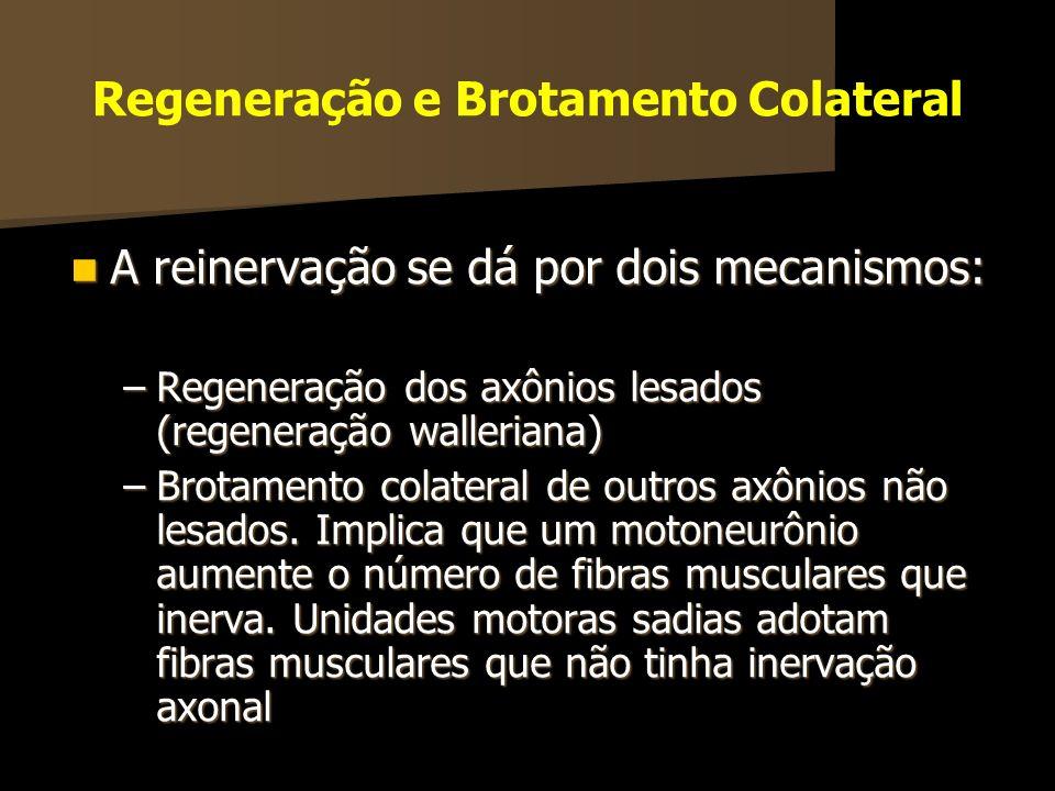 Regeneração e Brotamento Colateral