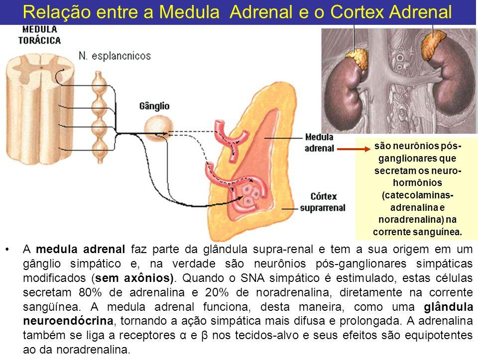 Relação entre a Medula Adrenal e o Cortex Adrenal
