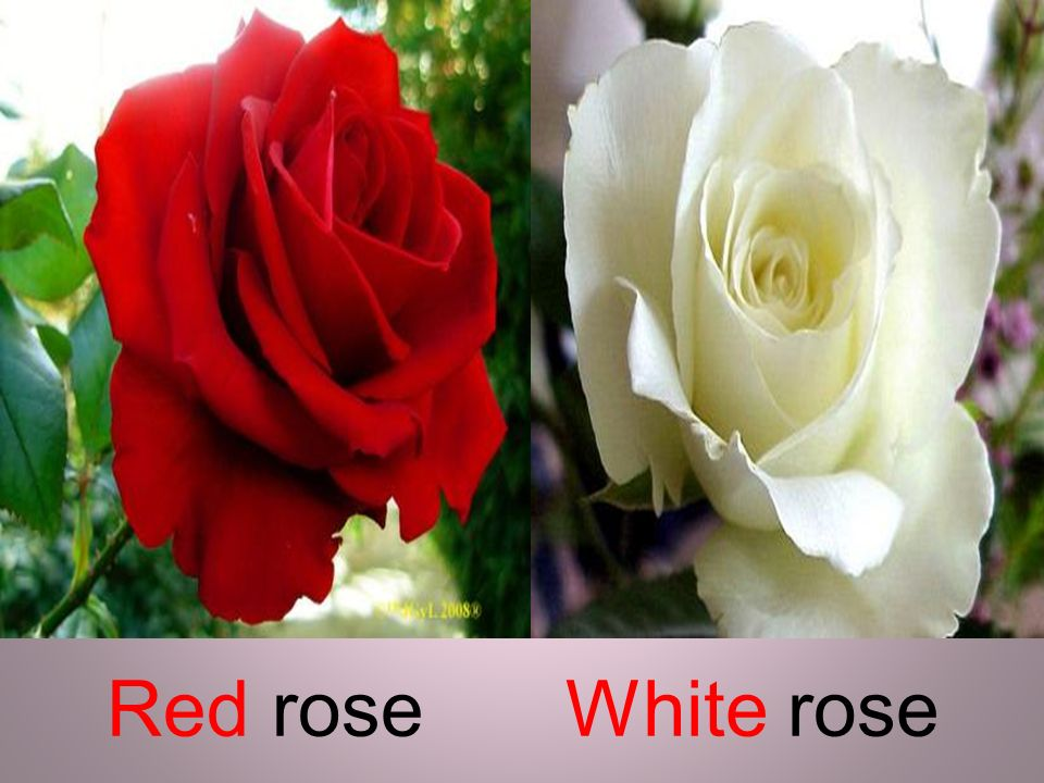 Red rose White rose