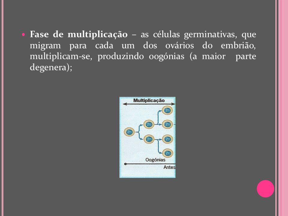 Fase de multiplicação – as células germinativas, que migram para cada um dos ovários do embrião, multiplicam-se, produzindo oogónias (a maior parte degenera);