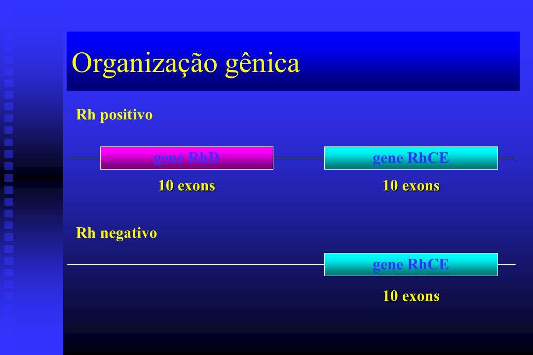 Organização gênica Rh positivo gene RhD gene RhCE 10 exons 10 exons