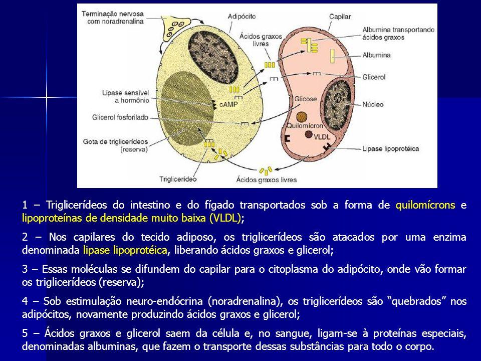 1 – Triglicerídeos do intestino e do fígado transportados sob a forma de quilomícrons e lipoproteínas de densidade muito baixa (VLDL);