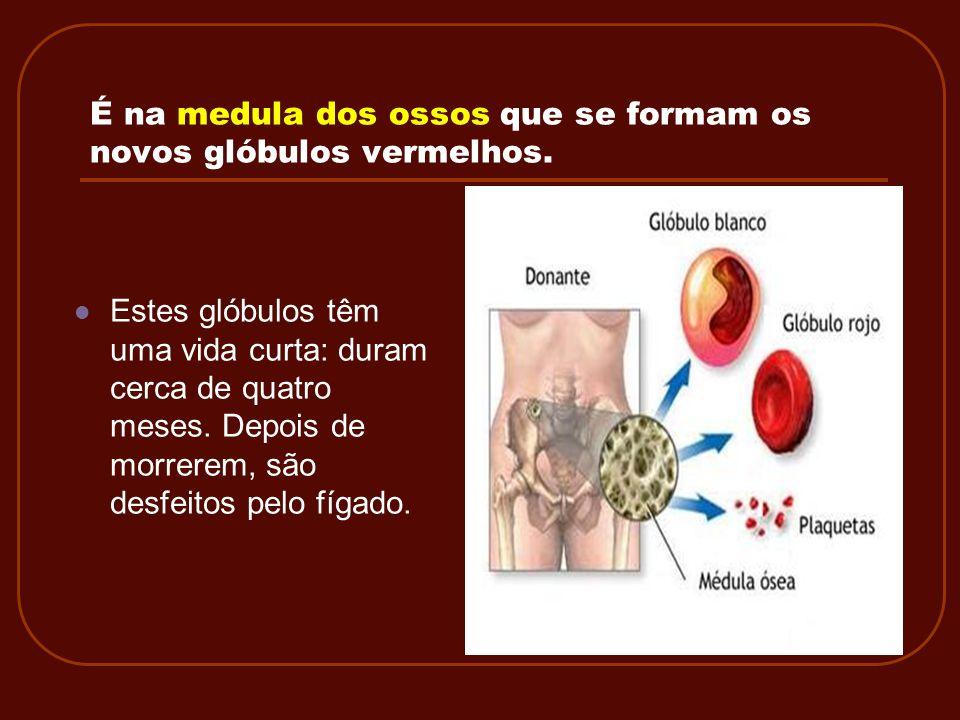 É na medula dos ossos que se formam os novos glóbulos vermelhos.