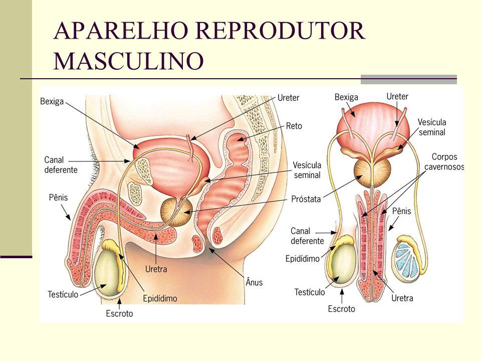 APARELHO REPRODUTOR MASCULINO