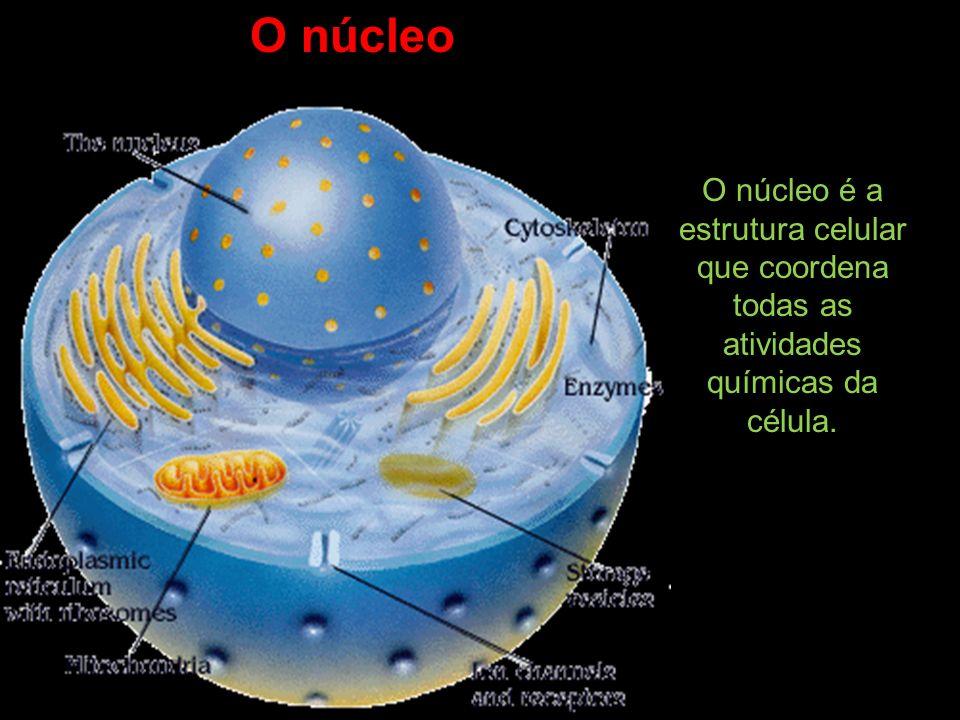 O núcleo O núcleo é a estrutura celular que coordena todas as atividades químicas da célula.