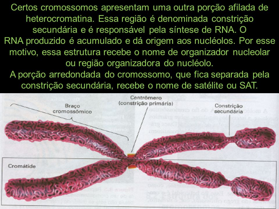 Certos cromossomos apresentam uma outra porção afilada de heterocromatina. Essa região é denominada constrição secundária e é responsável pela síntese de RNA. O