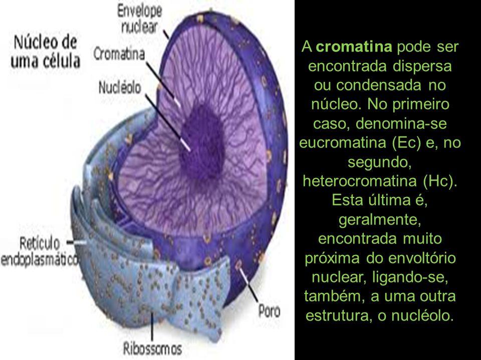 A cromatina pode ser encontrada dispersa ou condensada no núcleo