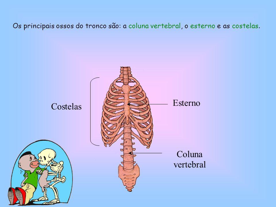 Esterno Costelas Coluna vertebral
