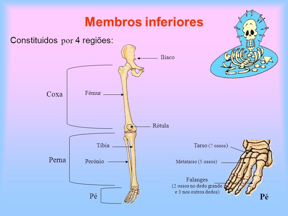 Membros inferiores Constituidos por 4 regiões: Pé Coxa Perna Pé Ilíaco