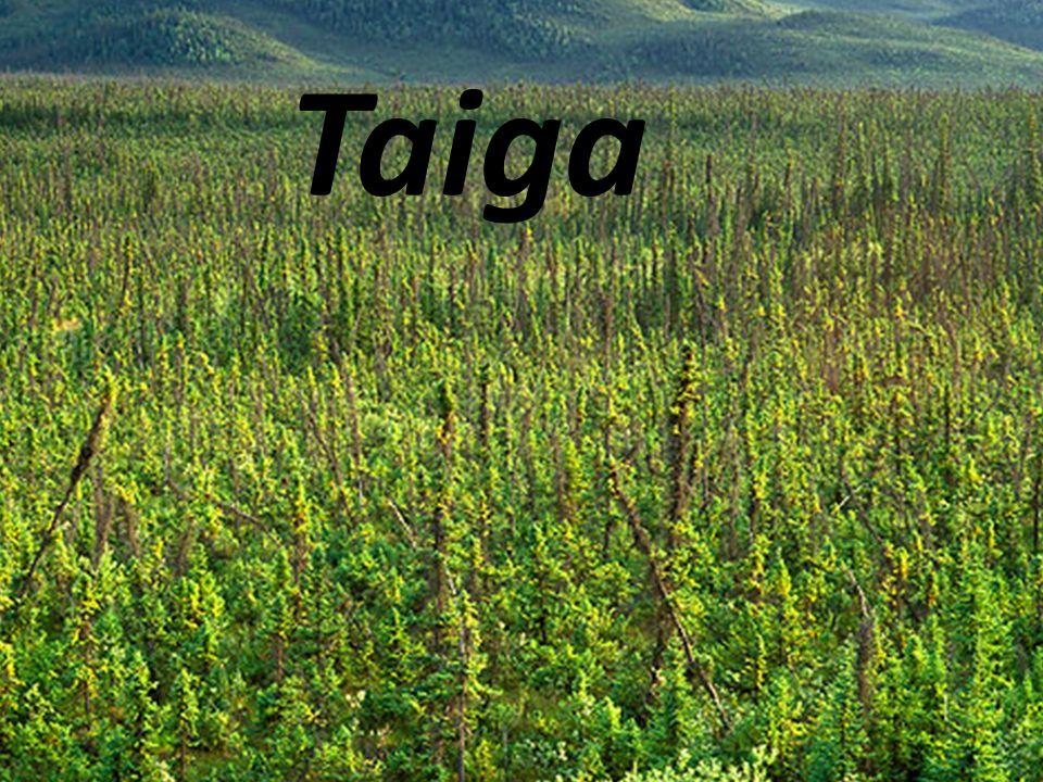 Taiga Taiga