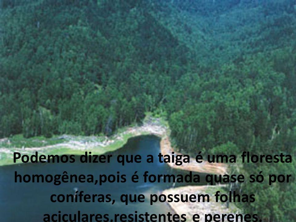 Podemos dizer que a taiga é uma floresta homogênea,pois é formada quase só por coníferas, que possuem folhas aciculares,resistentes e perenes.