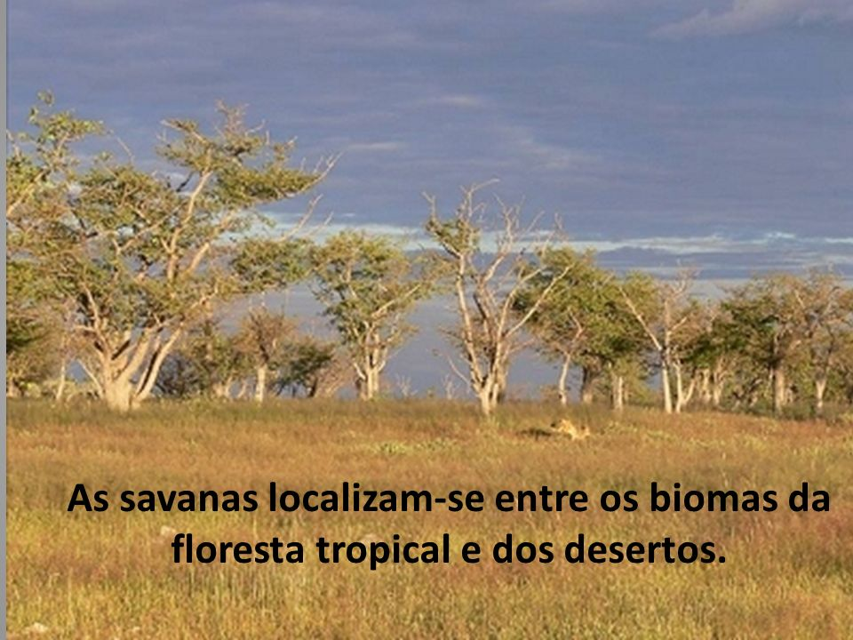 As savanas localizam-se entre os biomas da floresta tropical e dos desertos.