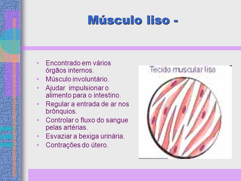 Músculo liso - Encontrado em vários órgãos internos.
