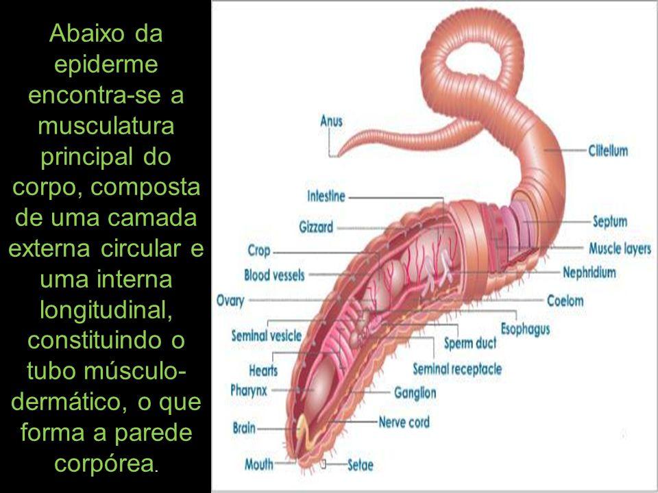 Abaixo da epiderme encontra-se a musculatura principal do corpo, composta de uma camada externa circular e uma interna longitudinal, constituindo o tubo músculo-dermático, o que forma a parede corpórea.