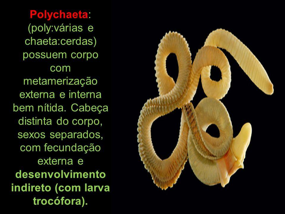 Polychaeta: (poly:várias e chaeta:cerdas) possuem corpo com metamerização externa e interna bem nítida.