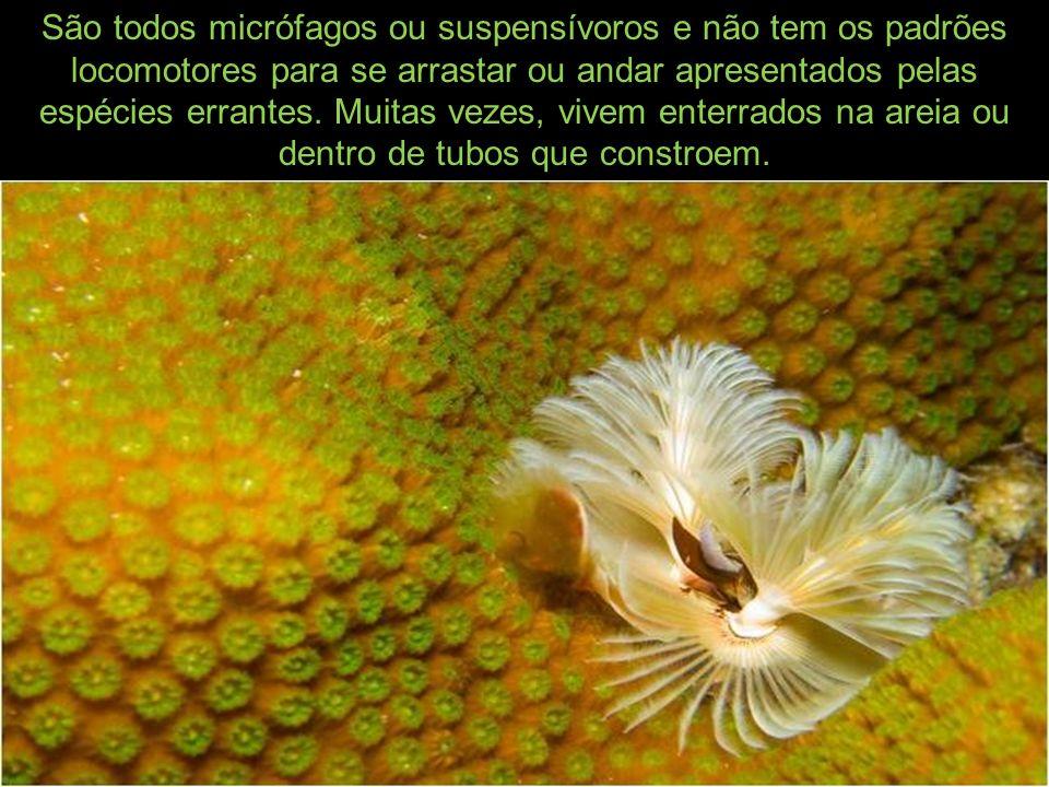 São todos micrófagos ou suspensívoros e não tem os padrões locomotores para se arrastar ou andar apresentados pelas espécies errantes.