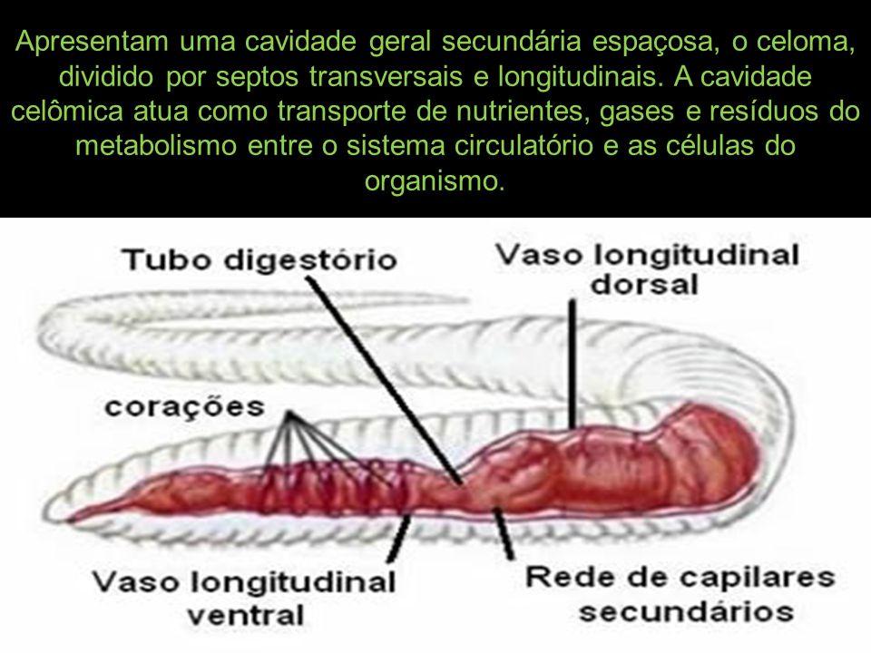 Apresentam uma cavidade geral secundária espaçosa, o celoma, dividido por septos transversais e longitudinais.