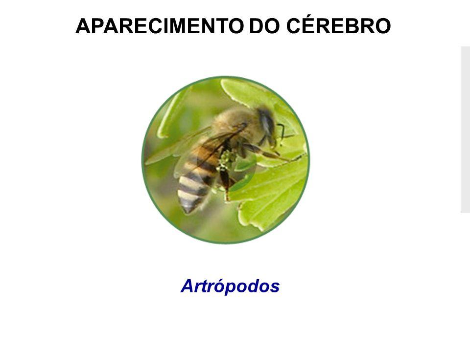 APARECIMENTO DO CÉREBRO