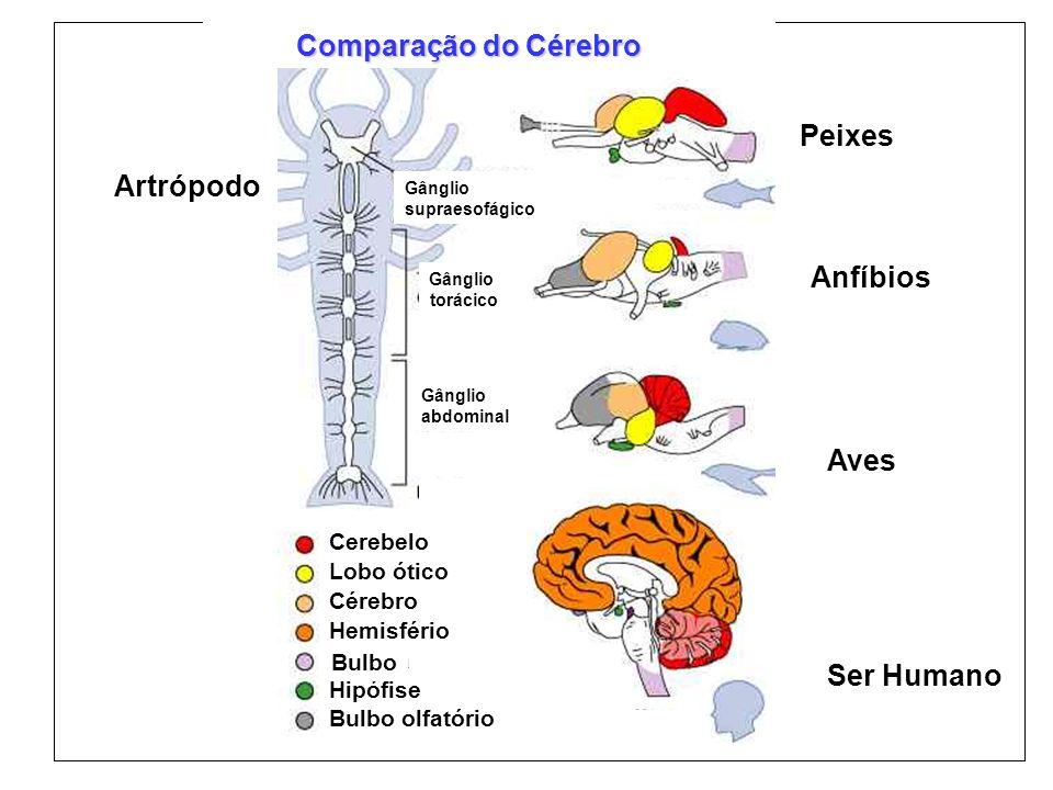 Comparação do Cérebro Peixes Artrópodo Anfíbios Aves Ser Humano