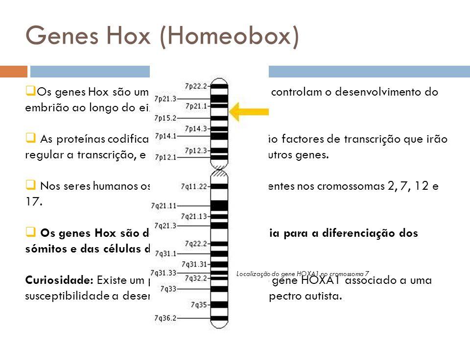 Genes Hox (Homeobox) Os genes Hox são um conjunto de genes que controlam o desenvolvimento do embrião ao longo do eixo anterior-posterior.