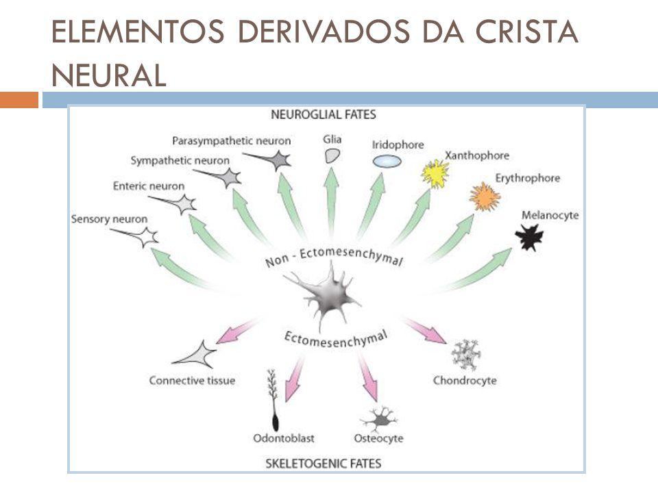ELEMENTOS DERIVADOS DA CRISTA NEURAL