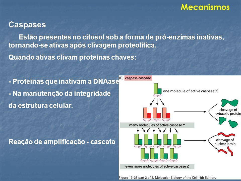MecanismosCaspases. Estão presentes no citosol sob a forma de pró-enzimas inativas, tornando-se ativas após clivagem proteolítica.