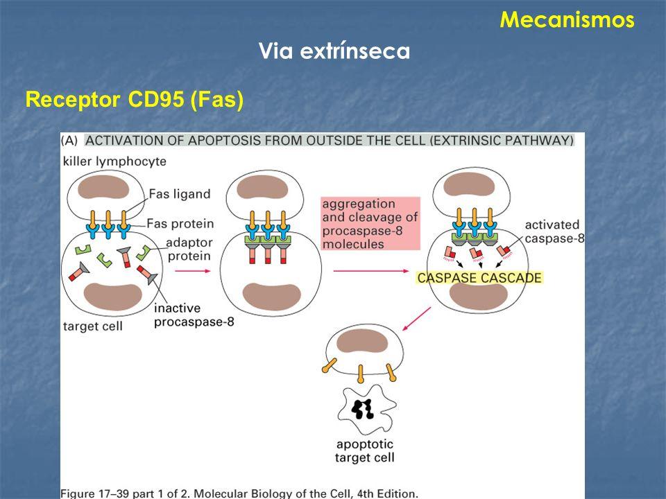 Mecanismos Via extrínseca Receptor CD95 (Fas)