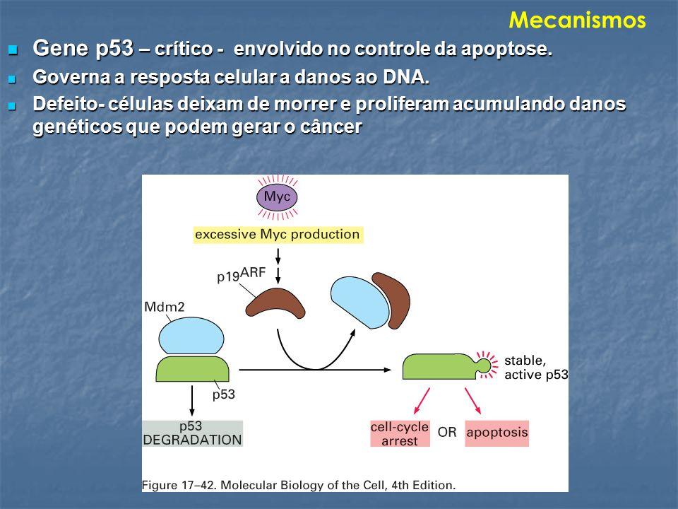 Gene p53 – crítico - envolvido no controle da apoptose.