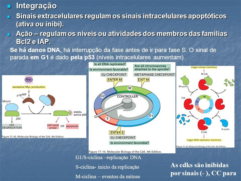 Integração Sinais extracelulares regulam os sinais intracelulares apoptóticos (ativa ou inibi).