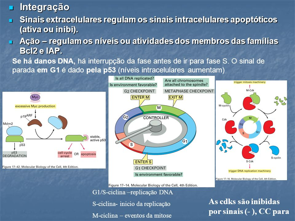 IntegraçãoSinais extracelulares regulam os sinais intracelulares apoptóticos (ativa ou inibi).