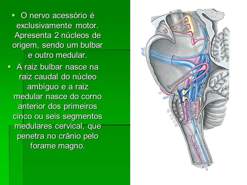 O nervo acessório é exclusivamente motor