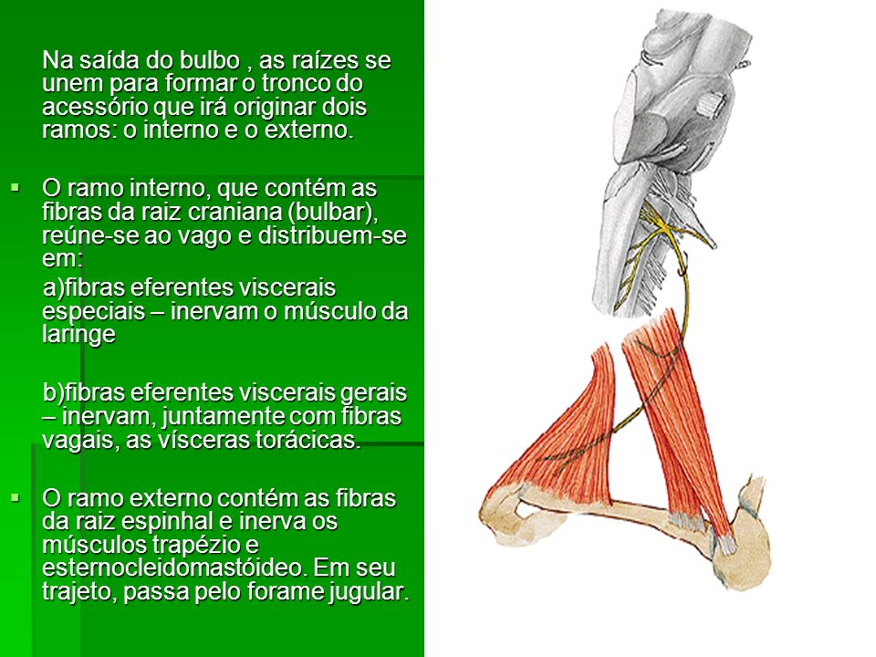a)fibras eferentes viscerais especiais – inervam o músculo da laringe