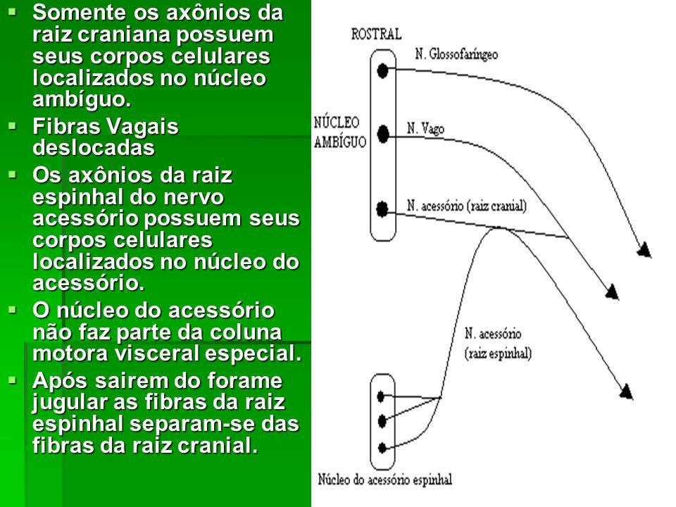 Somente os axônios da raiz craniana possuem seus corpos celulares localizados no núcleo ambíguo.