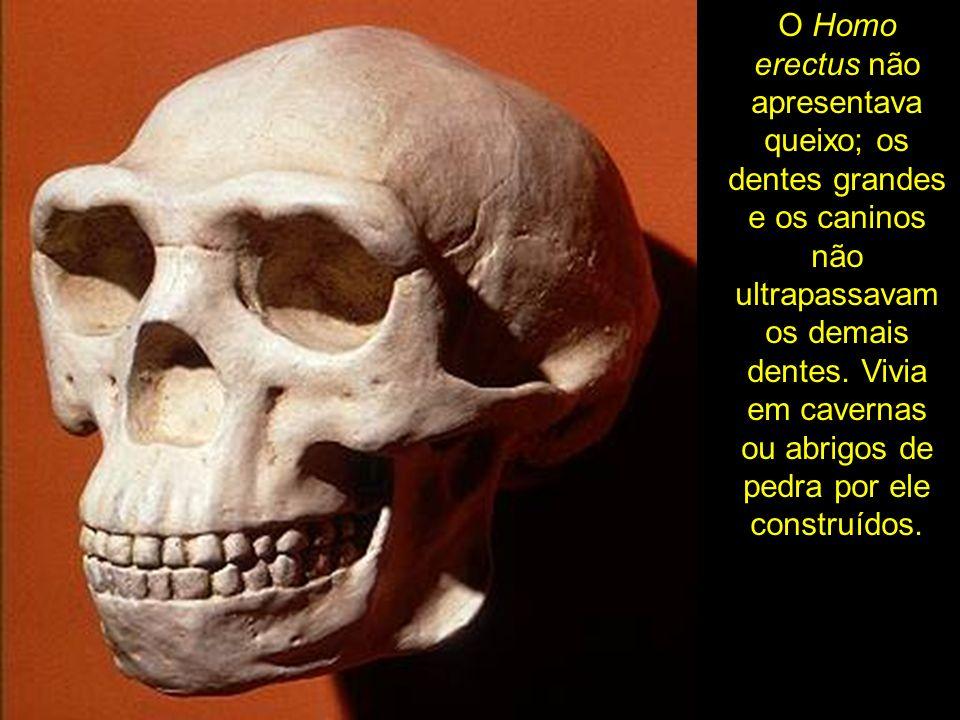 O Homo erectus não apresentava queixo; os dentes grandes e os caninos não ultrapassavam os demais dentes.