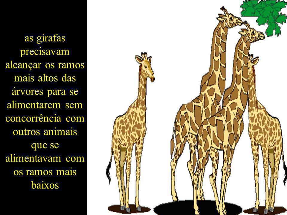 as girafas precisavam alcançar os ramos mais altos das árvores para se alimentarem sem concorrência com outros animais que se alimentavam com os ramos mais baixos