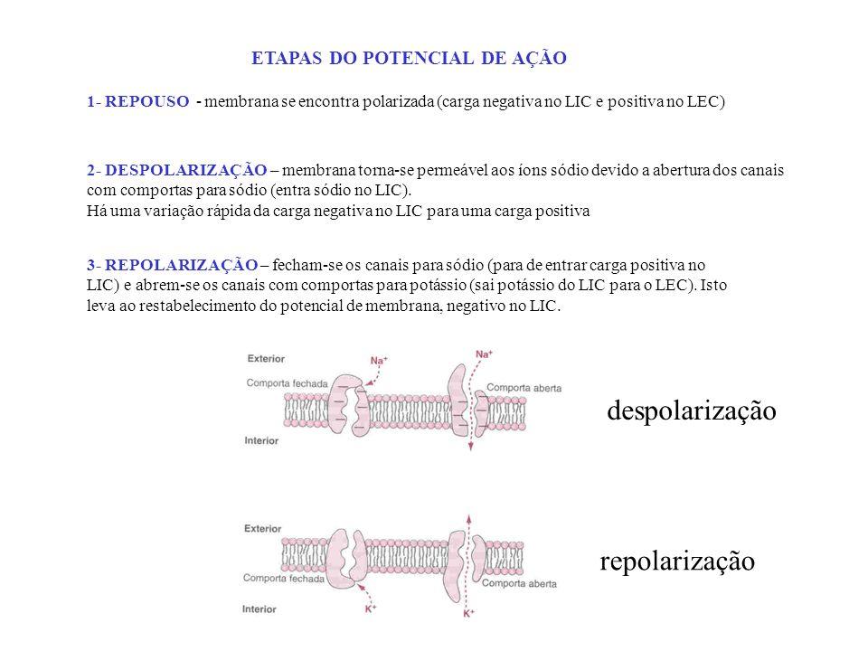 despolarização repolarização ETAPAS DO POTENCIAL DE AÇÃO