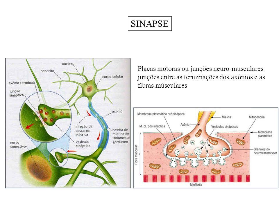 SINAPSE Placas motoras ou junções neuro-musculares