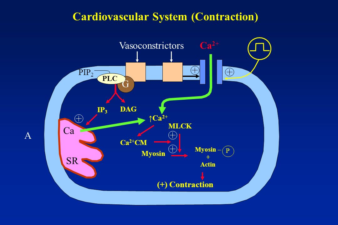 Cardiovascular System (Contraction)