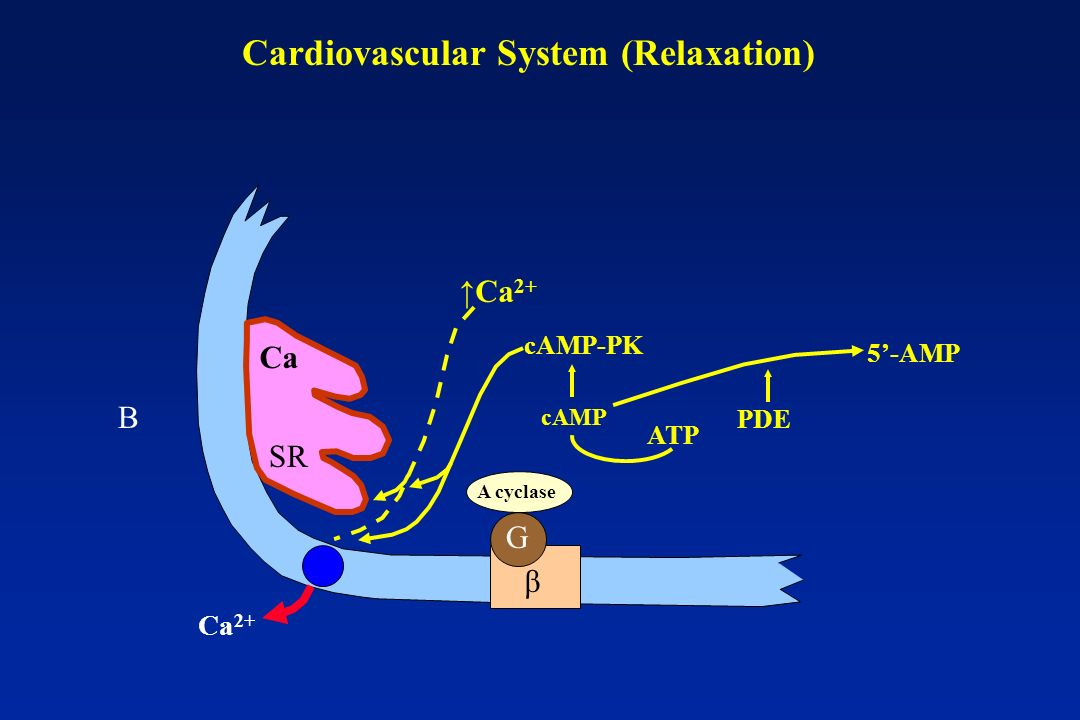 Cardiovascular System (Relaxation)