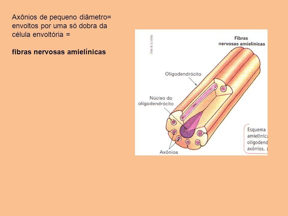 Axônios de pequeno diâmetro= envoltos por uma só dobra da célula envoltória =