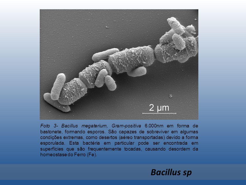 Foto 3- Bacillus megaterium, Gram-positiva 6