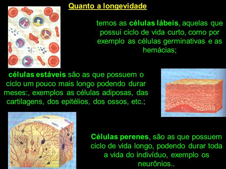 Quanto a longevidade temos as células lábeis, aquelas que possui ciclo de vida curto, como por exemplo as células germinativas e as hemácias;