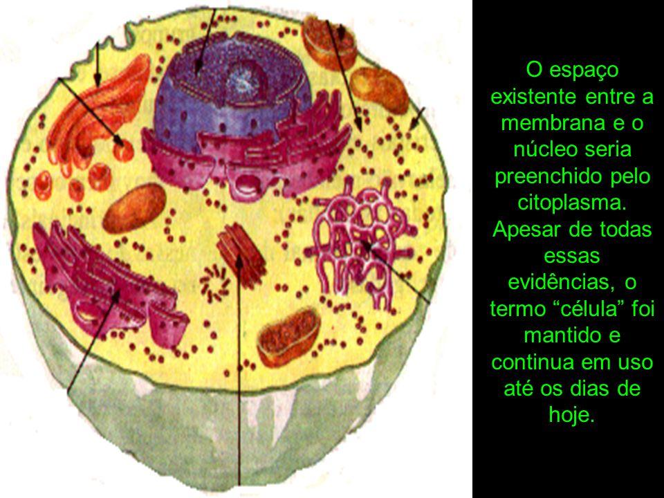 O espaço existente entre a membrana e o núcleo seria preenchido pelo citoplasma.