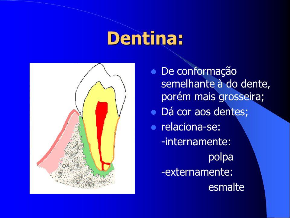 Dentina: De conformação semelhante à do dente, porém mais grosseira;